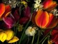 Tulip016