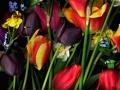 Tulip015